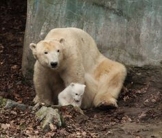 Visitors to Zoo Brno will soon be able to catch a glimpse of their new Polar Bear cub. The cub was born to mom Cora at the end of November 2015. Check out ZooBorns to learn more and see more! http://www.zooborns.com/zooborns/2016/03/zoo-brnos-polar-bear-cub-sticks-close-to-mom.html
