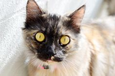 Do you have room for Crystal? She's at Seminole County, FL Animal Services hoping she'll get her forever home soon.  Dilute Tortoiseshell Mix & Domestic Long Hair • Young • Female • Medium Seminole County Animal Services Sanford, FL