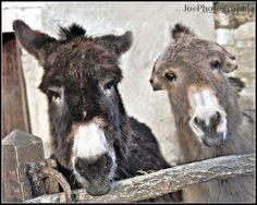 Donkey Show!     Courtesie: Joëlle, Glay, Doubs/Franche Comté, (France).© Copyrights Joélisa.