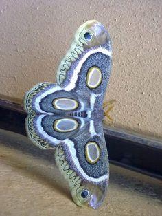 Mariposa Atlas Branca Africana / African White-ringed Atlas Moth (Epiphora mythimnia)