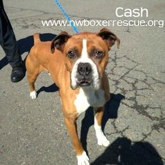 Cash is a sweet 4 year old fawn boy being fostered in Seattle WA.  Find out more about him on our website -   www.nwboxerrescue.org or our Facebook page -   www.facebook.com/northwestboxerrescue