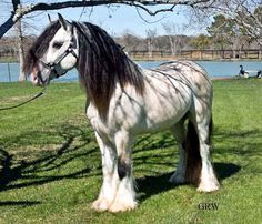 Gypsy Horses (aka Gypsy Vanners, Gypsy Cobs etc.) at Magic Horse Ranch in Virginia - Gypsy stallions from Germany