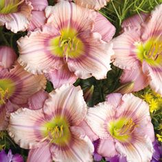 """Daylily, Stephanie Returns. A hardy, everblooming beauty, it's uniquely colored, boasting a bicolor blend of peachy pink, ruffled petals with a thin, purple eye, a dazzling yellow throat, and deep rose-purple sepals. It needs no maintenance to bloom almost continuously from early summer into fall. 14-16"""" x 14-16"""""""