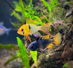 """AquaMom on Instagram: """"Sampson and Delilah. Beautiful couple they were. Sampson was the worst dad I have ever seen. He ate his eggs when Mom was out on break.…"""" Freshwater Aquarium Fish, Beautiful Couple, Fresh Water, Dads, Mom, Animals, Instagram, Animales, Animaux"""