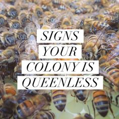 SIGNS YOUR COLONY IS QUEENLESS :http://beekeepinglikeagirl.com/signs-your-colony-is-queenless/