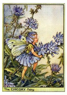 Chicory Fairy. Chicory, or endive, is a perennial herb with a long tap root. It has condensed, round stems, numerous light or dark green leaves and pale blue flowers.