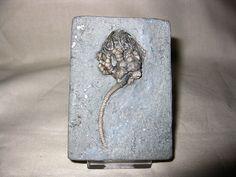 Cyathocrinites harrodi Crawfordsville Crinoid #1