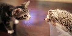 Tiny Kitten Tries To Figure Out What A Hedgehog Is