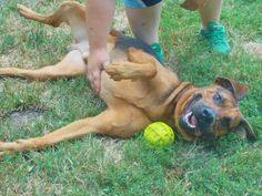 Beefy  • Shepherd / Bloodhound Mix • Adult • Male • Large •  Fairmont, WV  • Marion County Humane Society