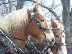 Belgian Draft Horses. Garrison Keillor tells a wonderful story about his uncle and a set of Belgians. Miss you Woodsie!