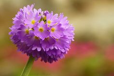 primula denticulata (by cre8ive-M(mostly away))