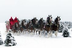 Clydesdales.