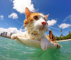 This surfing cat in Hawaii can swim and hang ten with only one eye.