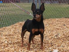 Miniature Pinscher dog for Adoption in Augusta, GA. ADN-463653 on PuppyFinder.com Gender: Male. Age: Senior