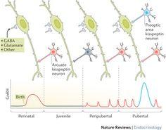 Postnatal developmental of the GnRH neuron network.