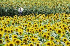 Место проведения Фестиваля подсолнухов – #Япония (#JP) Наверное, вы, как и я, не знали, что в Японии превосходно растут подсолнухи, не хуже, чем на нашей Кубани и на Украине. И не просто растут, а в честь них еще устраиваются целые фестивали. Hokuryu-cho Sunflower Festival - как раз из таких, в программе прогулки по полям, музыкальные представления, ярмарки. http://ru.esosedi.org/JP/places/1000077180/mesto_provedeniya_festivalya_podsolnuhov/