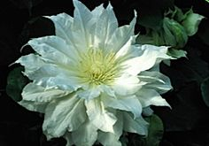 Arctic Queen. best all-time double white clematis. It's long flowering, from almost May – Sept or even later in a mild autumn Hardiness Zone: 4-9
