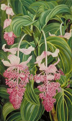 Marianne North - Foliage and Flowers of Medinilla Magnifica (Royal Botanic Gardens Kew, Richmond, Surrey, United Kingdom) Tropical Flowers, Tropical Art, Botanical Flowers, Exotic Flowers, Botanical Prints, Lilies Flowers, Kew Gardens, Botanical Drawings, Botanical Illustration