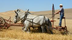Pulling mules ~ strong, intelligent, and visually adorable!