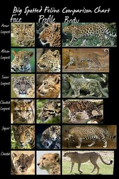 wild cats species comparison chart (larger spotted cats) by *HDevers on deviantART - Tap the link now to see all of our cool cat collections! Nature Animals, Animals And Pets, Funny Animals, Cute Animals, Wild Cat Species, Animal Species, Endangered Species, Especie Animal, Animal Facts