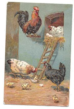 #chicken #chickens Chicken Postcard