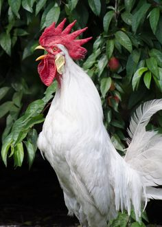 Rooster Crowing On The Farm by Jason Ward