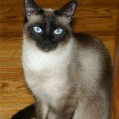 Classified: Siamese Cat for Sale - Coma News