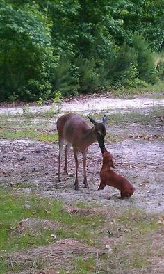Deer and dachshund! eep! I'm dying of cute over here!!