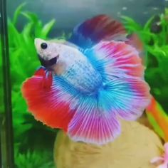 Visit my website for more betta inspiration and everything you need to take care you fish. Freshwater Aquarium Shrimp, Freshwater Fish, Aquarium Fish, Tropical Animals, Tropical Fish, Betta Tank Mates, Oranda Goldfish, Amazing Aquariums, Rare Fish