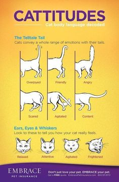 Bengal Cat Facts WHY DO CATS MEOW? Top Reasons Your Cats Meow! - Tuxedo cats are very sophisticated cats. In reality, these cats are absolutely among the best-dressed animals you can find. Tuxedo cat have unique pattern Crazy Cat Lady, Crazy Cats, Cat Body, Gato Gif, Cat Info, Kitten Care, Love Your Pet, Cat Behavior, Cat Facts