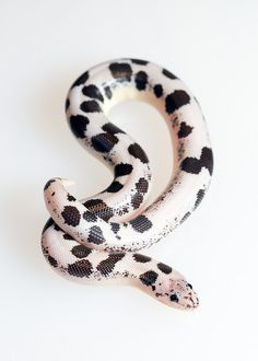 animals, snakes, reptiles, Kenyan Sand Boas by Anu Leppänen Pretty Snakes, Cool Snakes, Beautiful Snakes, Scary Snakes, Colorful Snakes, Beautiful Creatures, Animals Beautiful, Beautiful Boys, Serpent Animal