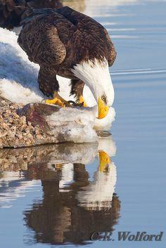The Eagle in the mirror - Bald eagle