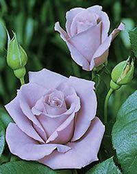 Climbing Blue Moon Roses