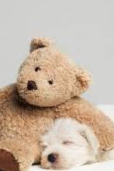 Teddy Bear Resting On Sleeping West Highland Terrier Puppy Studio Shot Photograp , Love Bear, I Love Dogs, Cute Dogs, Teddy Bear Hug, Cute Teddy Bears, Bear Hugs, Snuggle Bear, West Highland Terrier Puppy, Cute Animal Photos