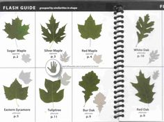 Ohio Tree Identification Guide Leaves Submited Images Pic 2 Fly