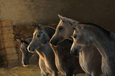 "maneofthunder:  ""Arabian Horses by Wojtek Kwiatkowski  """