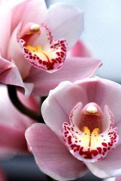 A sua orquídea não floresce? Tudo o que você precisa fazer está aqui!  #orquídea #florir #florescer #flores #plantas #cymbidium #jardim #jardinagem