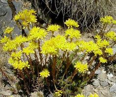 Sedum Reflexum / Rupestre - 500 Seeds - Reflexed Yellow Stonecrop