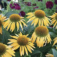 Echinacea 'Harvest Moon' Love this plant. Mine usually only grow about 1' and need full sun for decent blooms, though most garden guides say they grow 1-3' in full sun or part shade.