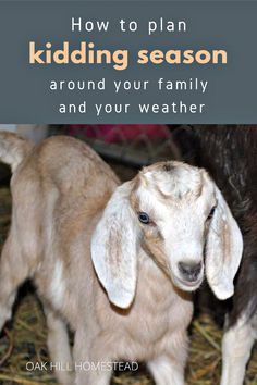 You can plan around your family's schedule to make homestead life more manageable. Here's how you can plan around the weather, your vacation and other factors so you'll know when to breed your goats - and so you'll be ready for those adorable goat babies! Breeding Goats, Goat Pen, Family Schedule, Goat Care, Boer Goats, Raising Goats, Hobby Farms, Chickens Backyard, Livestock