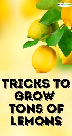 TRICKS TO GROW TONS OF LEMONS. Soil is not a very big problem for lemon trees. Lemon trees are very hardy, they can grow in kind of soil. This is because of their fibrous root system. A mature lemon tree produces small fibrous roots, which help them to suck all the moisture and nutrients from any kind of soil. But for a small lemon tree or plant, the soil is an important factor. You should provide compost to your plant, and soil with nice drainage will do great. Lemon Tree Plants, Lemon Tree Potted, Lemon Plant, Citrus Trees, Potted Trees, Trees To Plant, Growing Lemon Trees, Growing Tree, Home Vegetable Garden
