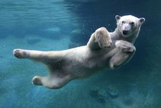 What's the deal with the polar bear? It's my best attempt to inspire you and prepare you for the ever Resolved Polar Bear Swim. Nature Animals, Animals And Pets, Baby Animals, Funny Animals, Cute Animals, Wild Animals, Baby Giraffes, Urso Bear, Fauna Marina