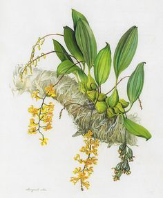 Rudolfiella, ilustração de Margaret Mee