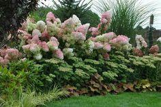 Garden. Hydrogea. Ogród