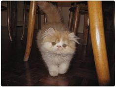 3. Ollie because he has swagger! | Community Post: 53 Kitties Who Will Restore Your Faith In Flat-Faced Cats
