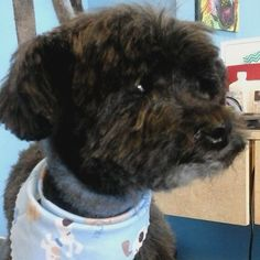 Hercules #tucsondoggrooming #doggrooming #wagsmytail A well groomed dog is a well loved dog! Call us today to schedule your dog grooming appointment 520-744-7040