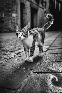 Cat in Albi streets, France by Cédric Tourasse. Kitty, cat, furry, pet, brick road, building, city cat, walk-about-cat, cute, nuttet, photograph, photo b/w.