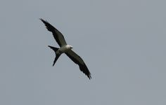 Swallow-tailed Kite gliding over #Myakka (photo by @Roger Real Drouin )