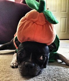 Boston Terrier Costume - Pumpkin