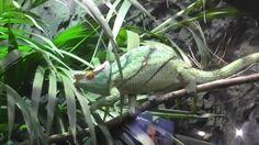 Parson's Chameleon in london zoo